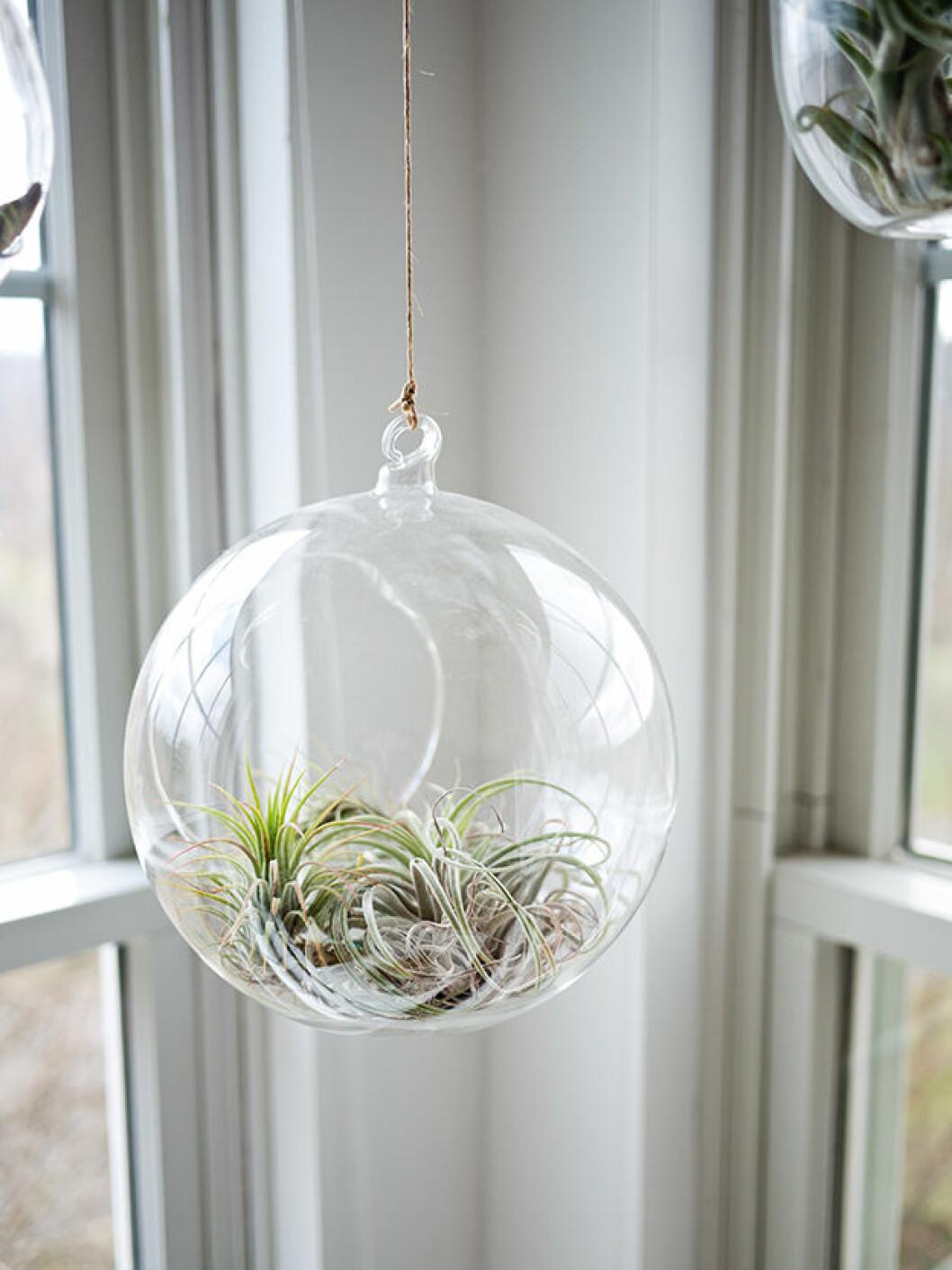Airplant i en globformat vas som hänger från taket