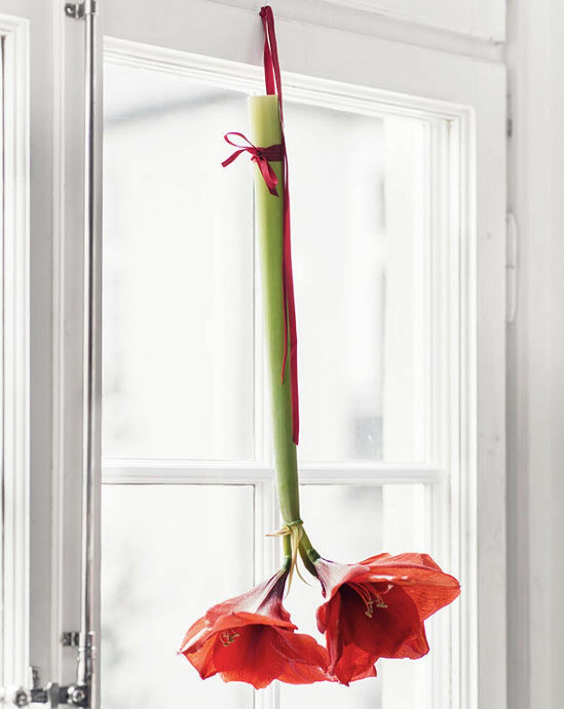 skötselråd amaryllis