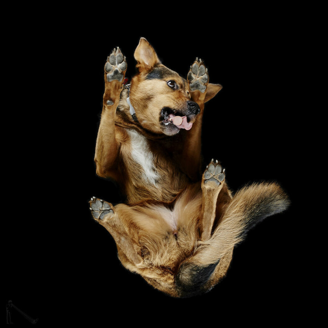 Brun stor hund.