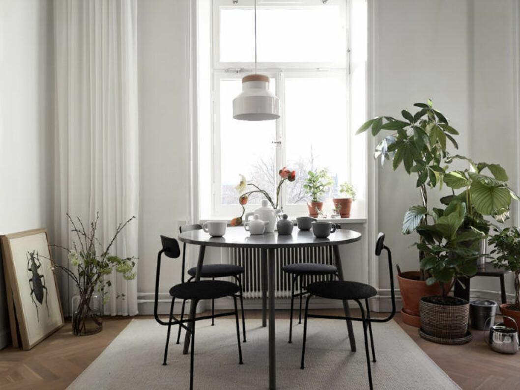 Ljust kök på Södermalm, runt bord och Afteroom-stolar, växthörn och tavlor.