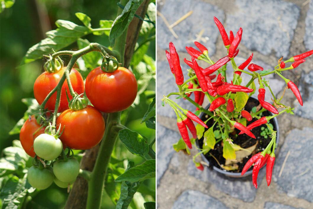 Busktomat och chili