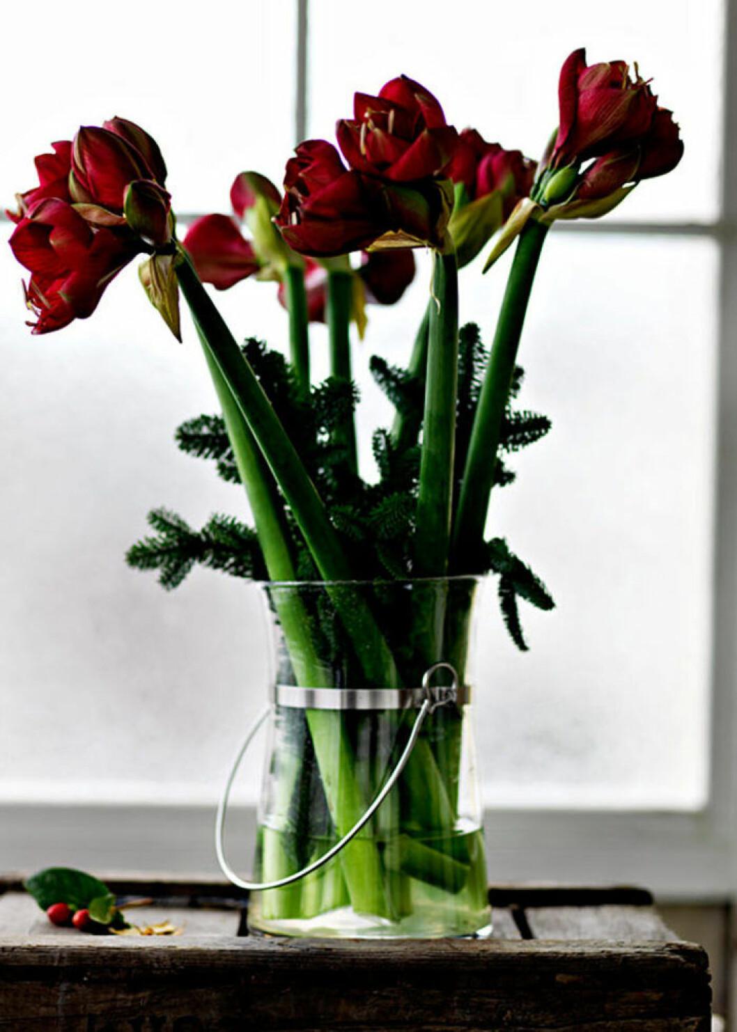 Röd amaryllis och granris i en genomskinlig vas.
