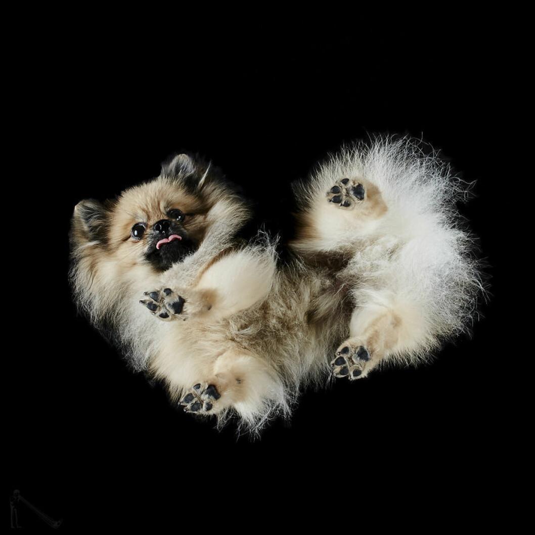Urgullig liten hundvalp underifrån.