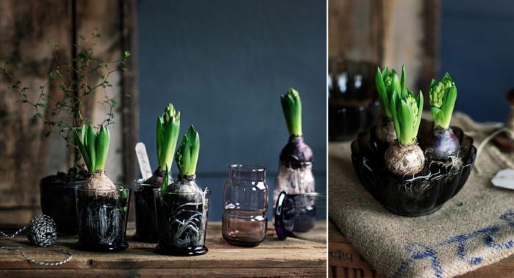 Hyacinter i genomskinliga skålar och vaser.