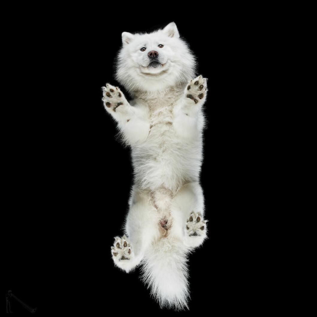 Gulliga tassar på vit hund.