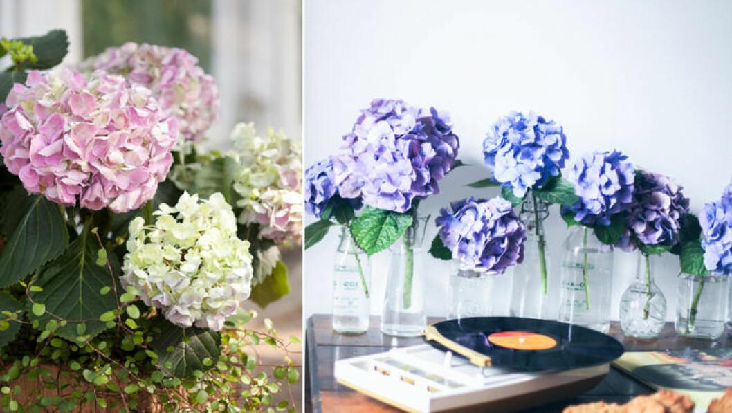 Hortensior i olika färger