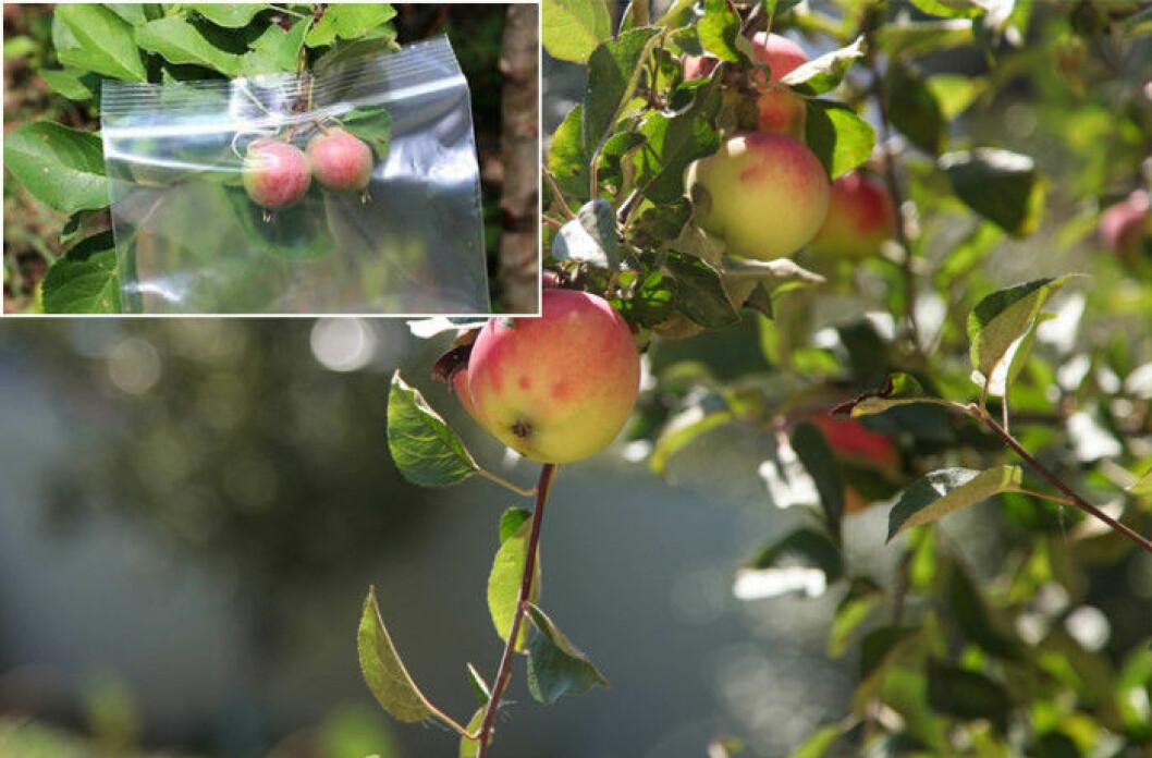 Zippåsar skyddar äpplena i trädet