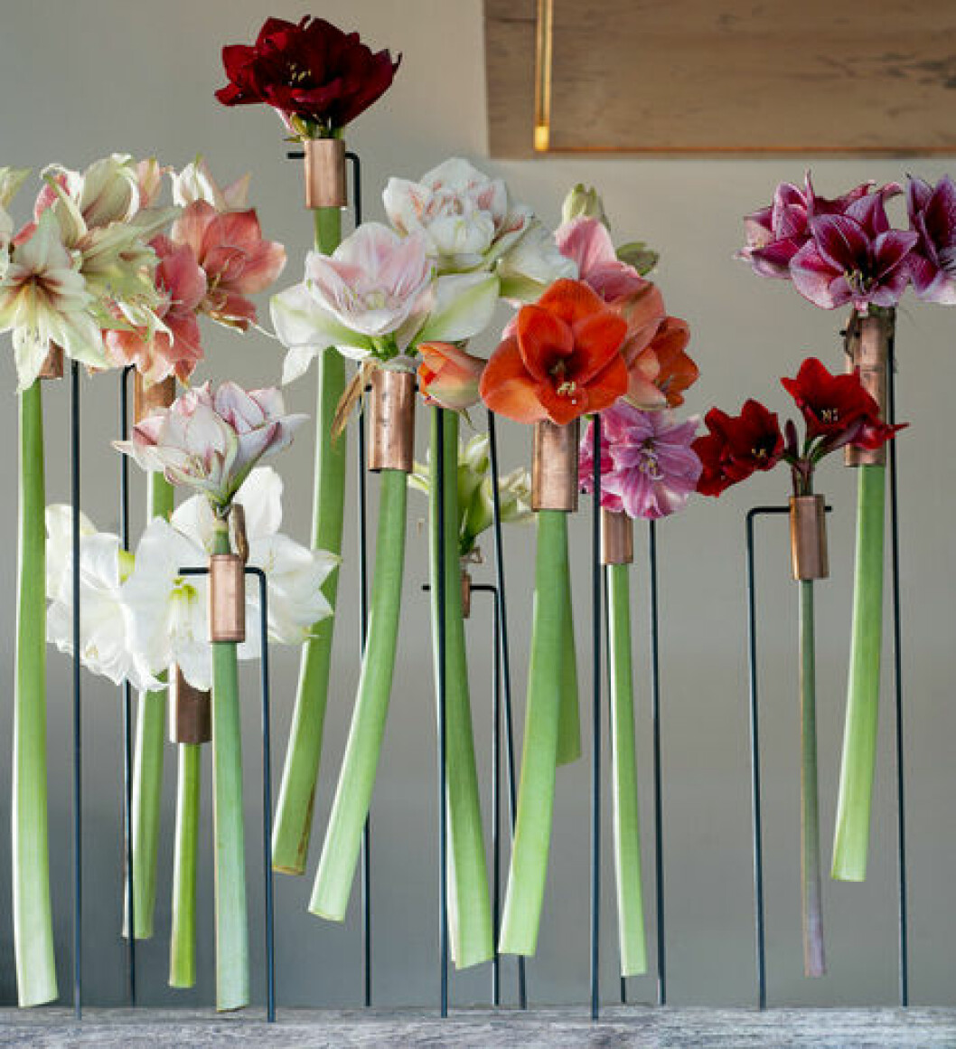 Amaryllis i olika färger hängandes i små vaser på rad.