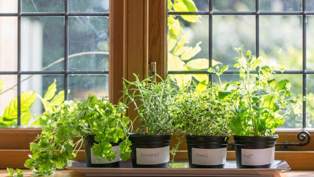 Örter som planteras på fönsterbrädan