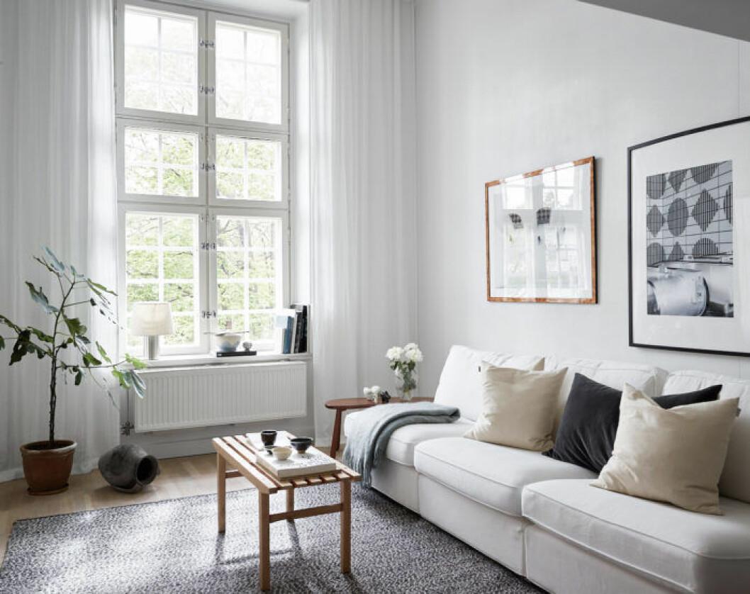 Fikonträd i ljust vardagsrum och vita gardiner.
