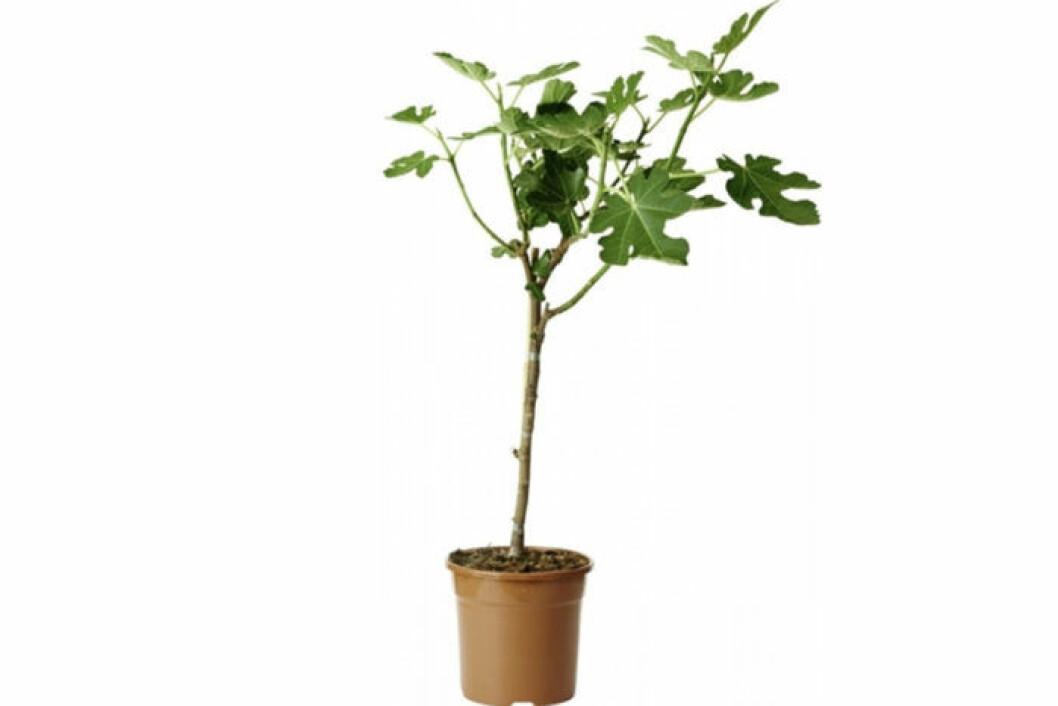 fikonträd