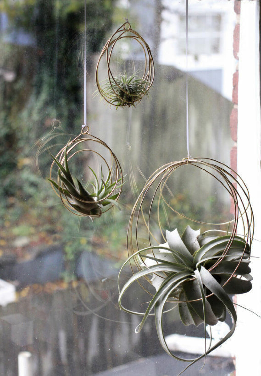 Airplants i fönstret