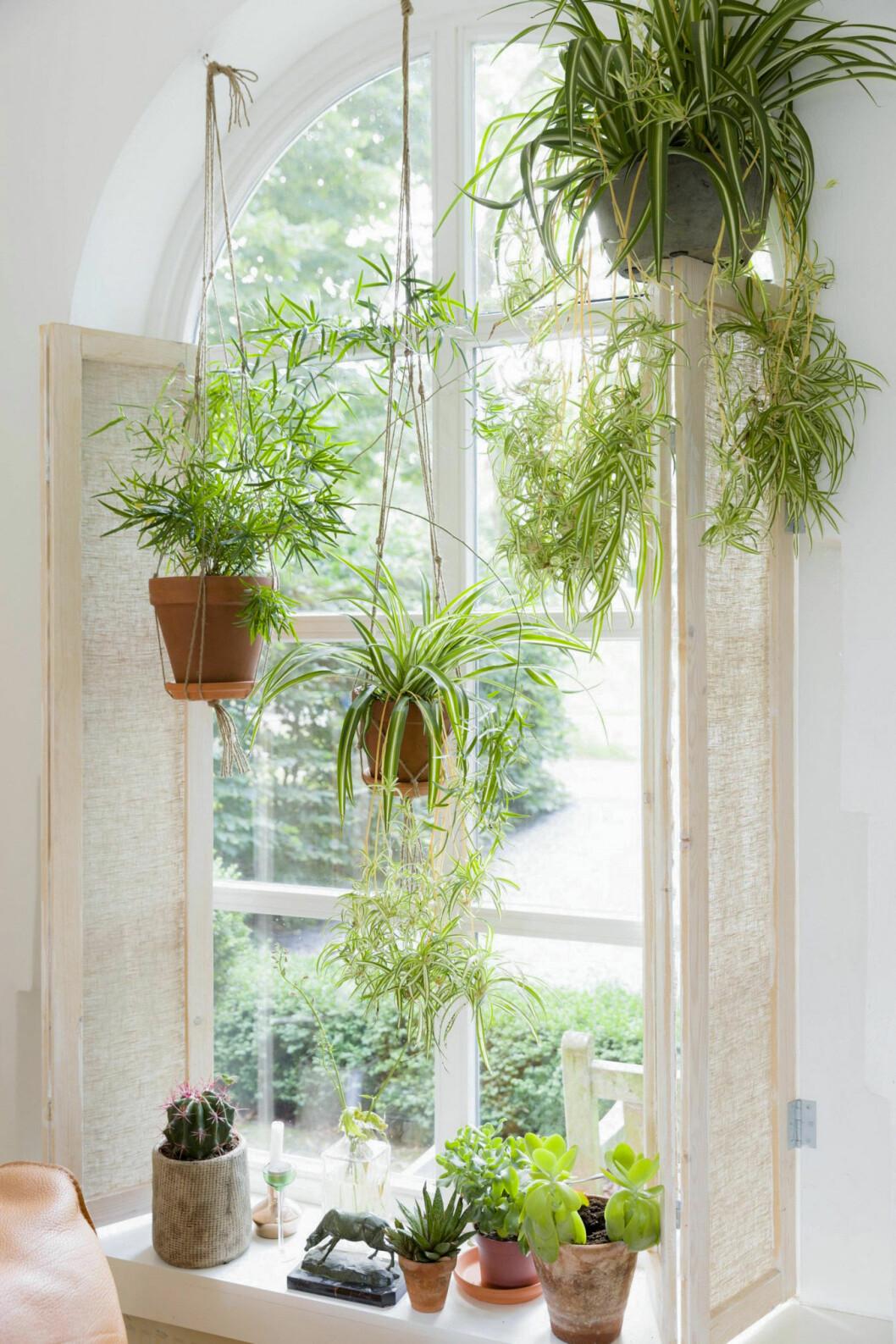 Ett fönster fyllt med amplar