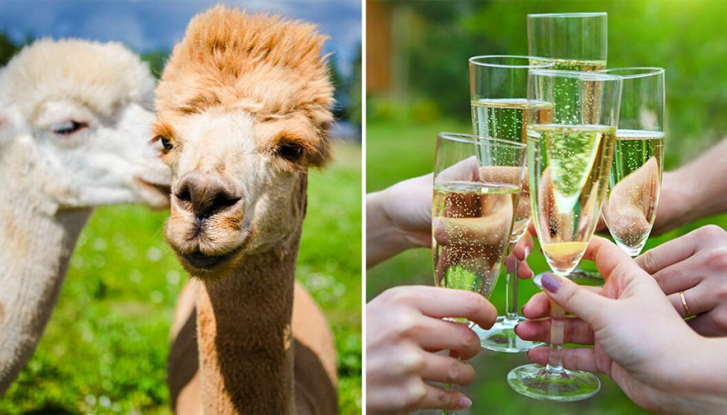 Klappa alpackor och drick prosecco på Irland!