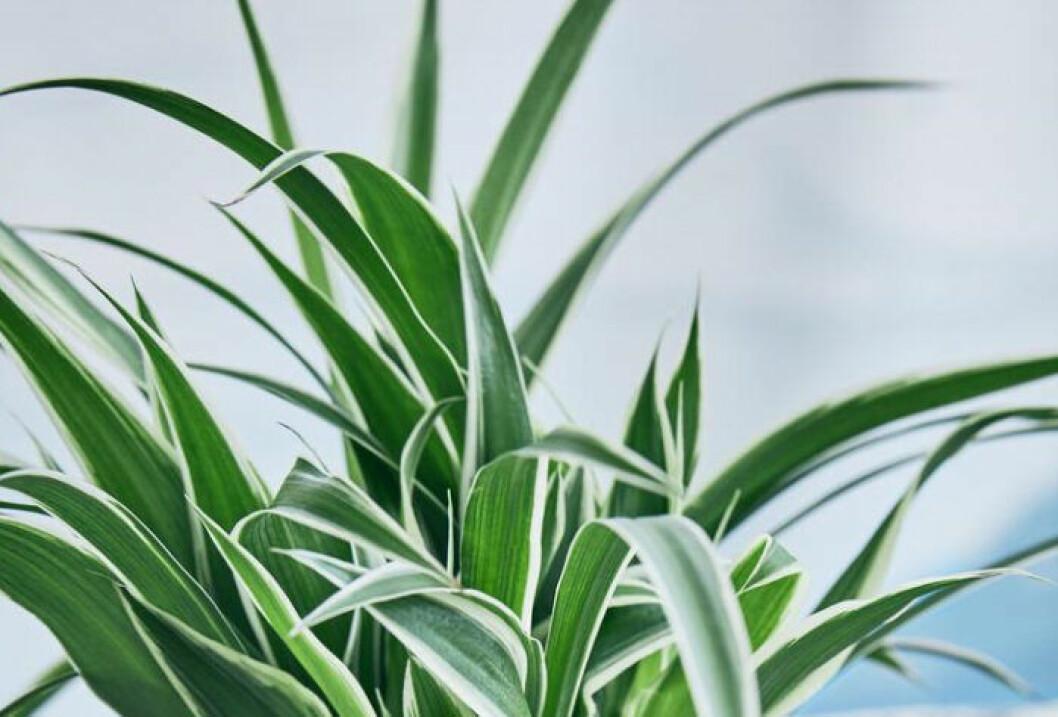 Ampellilja är en kattvänlig ofarlig växt