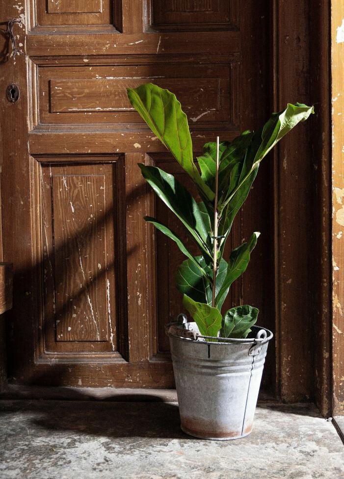 liten fiolfikus från house of flowers/ellos