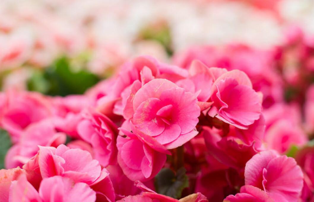 Rosa begonior är påväg tillbaka.