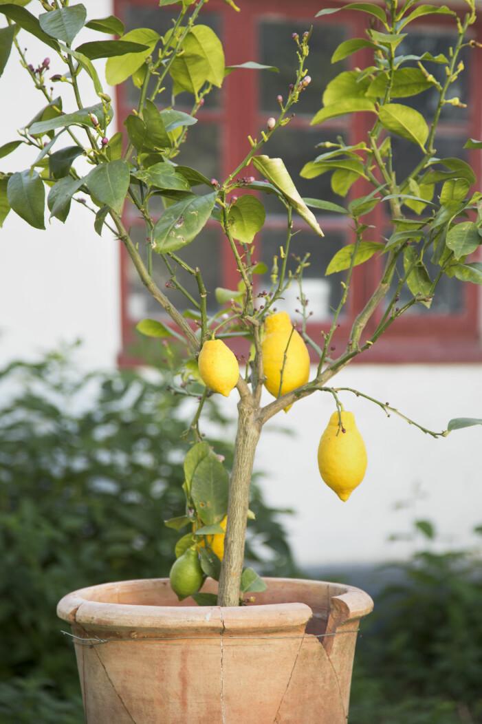 Plantera citronträd på balkongen