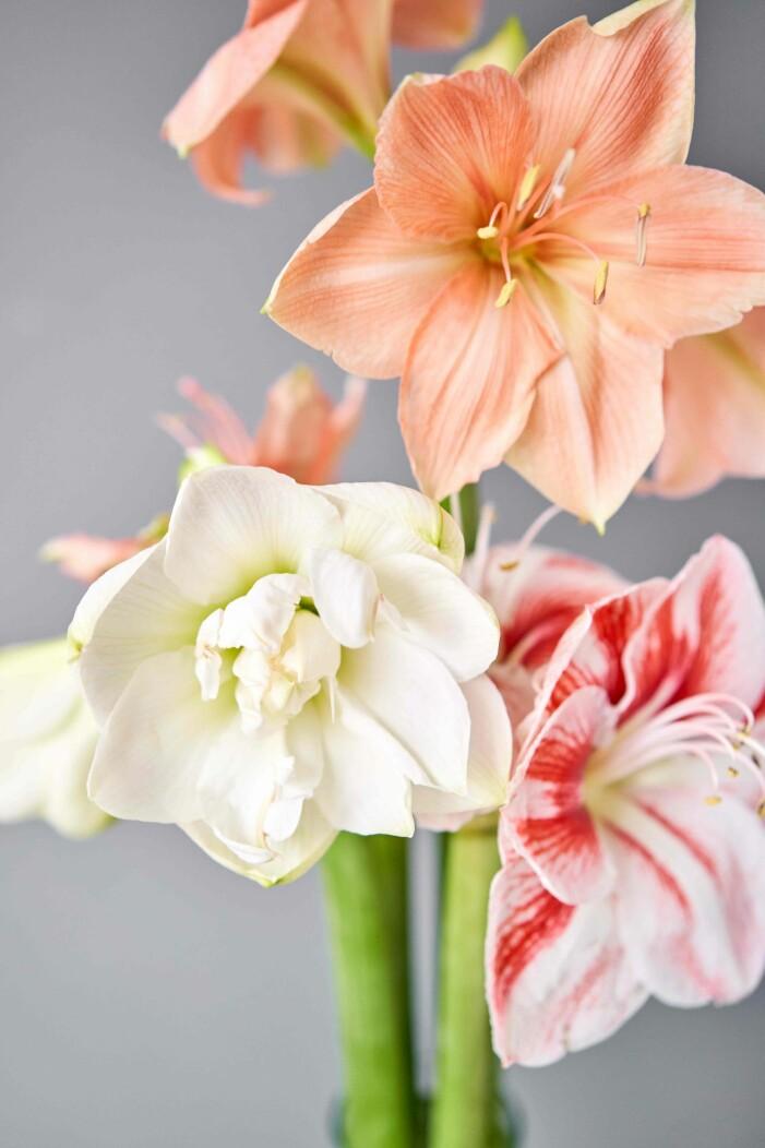 driv upp blommande amaryllis och hyacinter