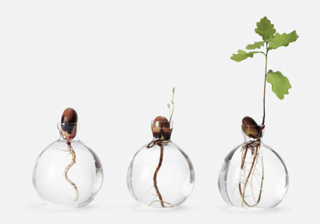Så får du ekollonet att gro – 3 enkla steg