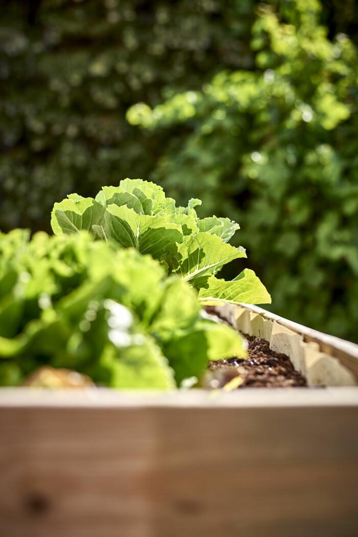 Enkla grönsaker att odla i växthuset, sallat