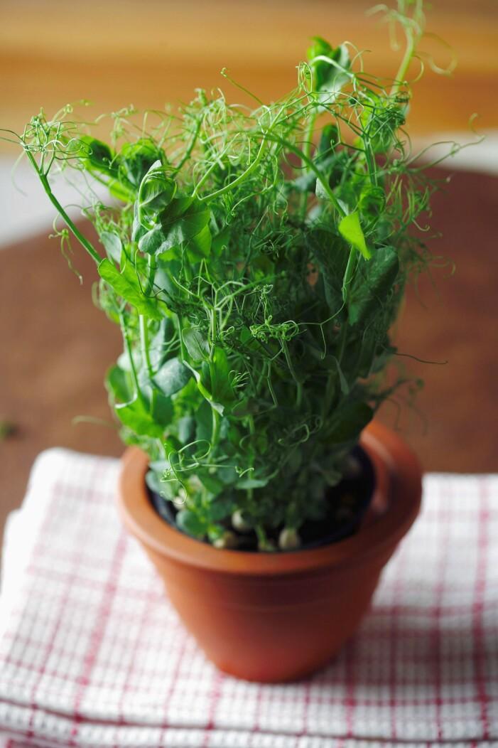 Enkla grönsaker att odla i växthuset, ärtskott
