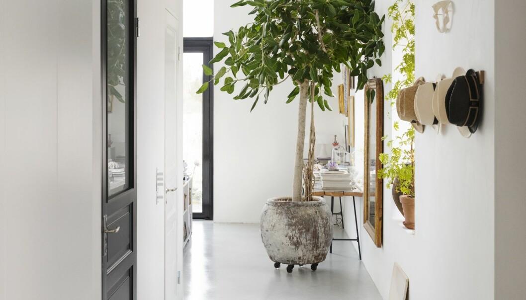 Färingsöhuset Malin Cropper Elle Decoration fikusträd inomhus