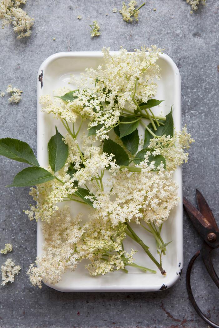 Fläder är en ätbar blomma perfekt för både mat och dryck
