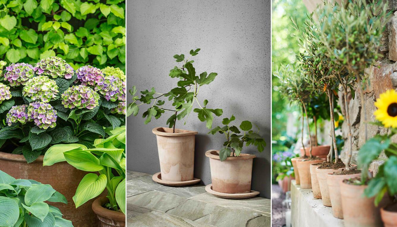Balkongväxter som går att övervintra