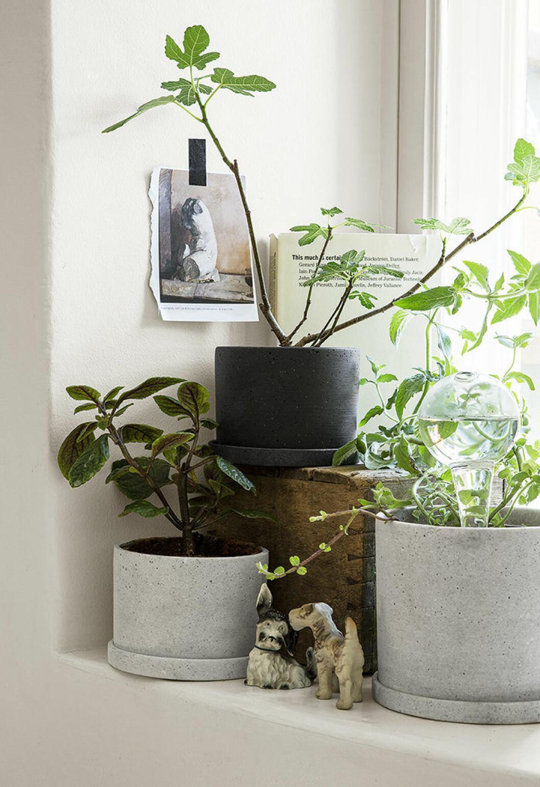 placera grönväxterna på fönsterbrädan