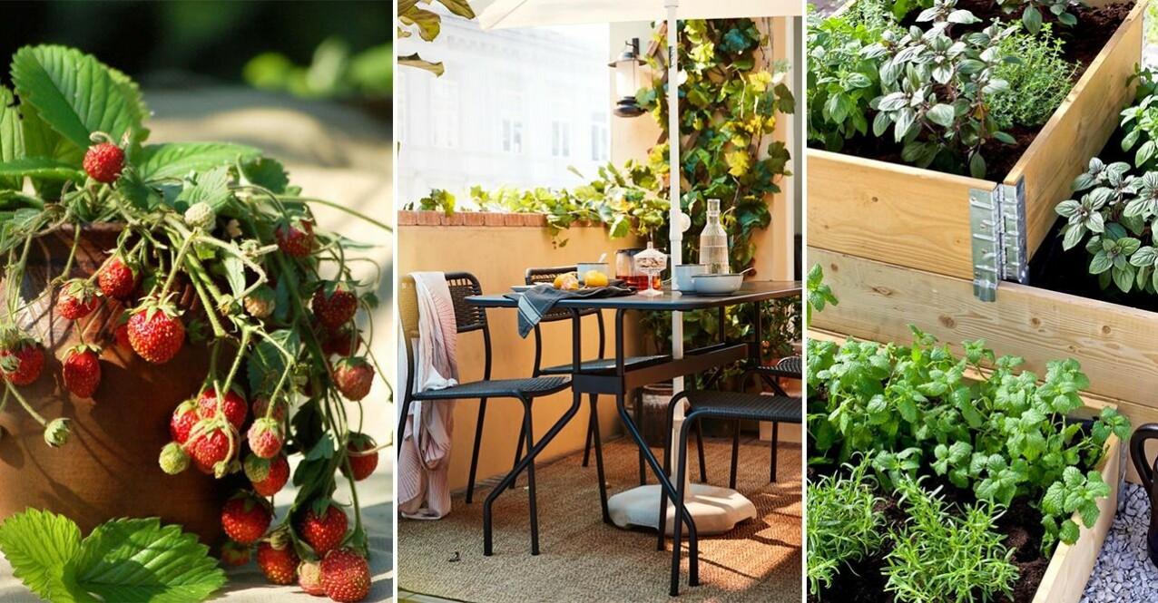 jordgubbar, balkong och örtodling