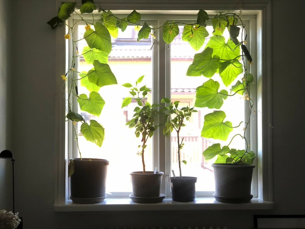gurkgardin i fönstret hos Nicole Wilson