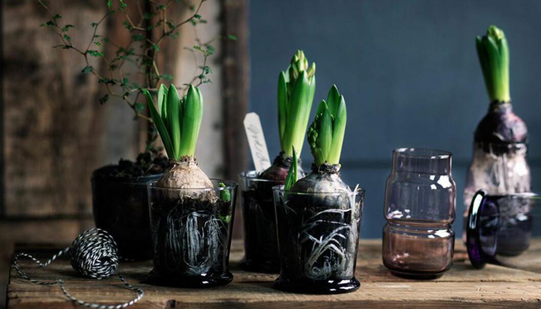 Skötselråd för hyacinter