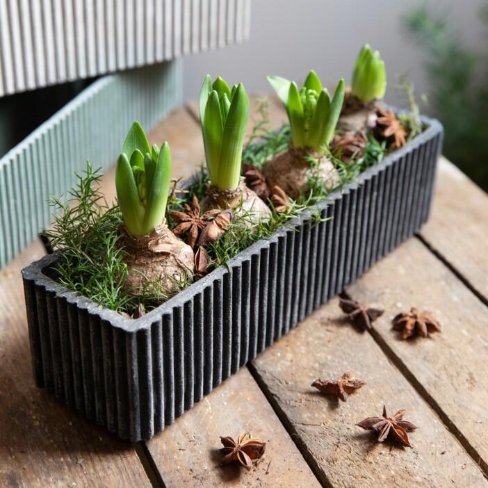 hyacinter i kruka från granit