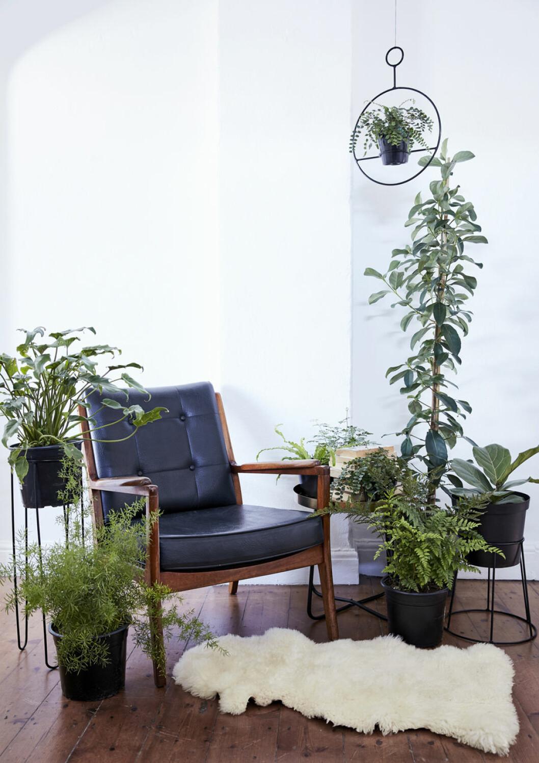 Samla växterna i ett hörn, till exempel kring en mysig fåtölj, för ett snyggt intryck