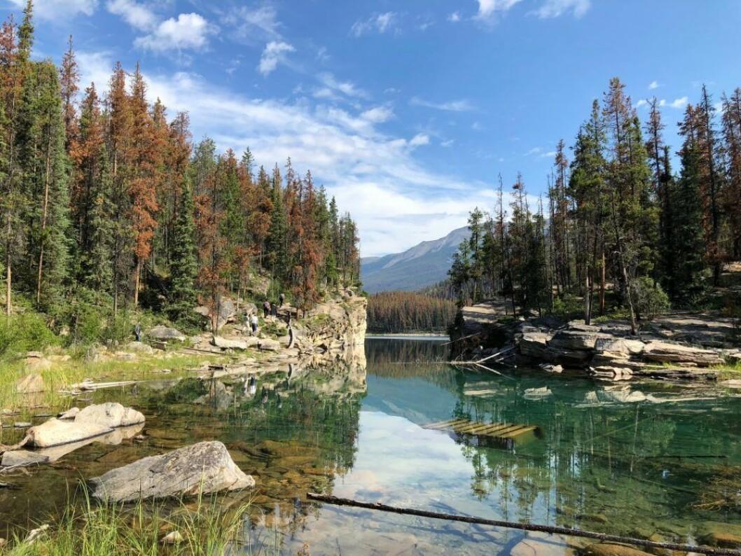 Jasper nationalpark, stenbocken