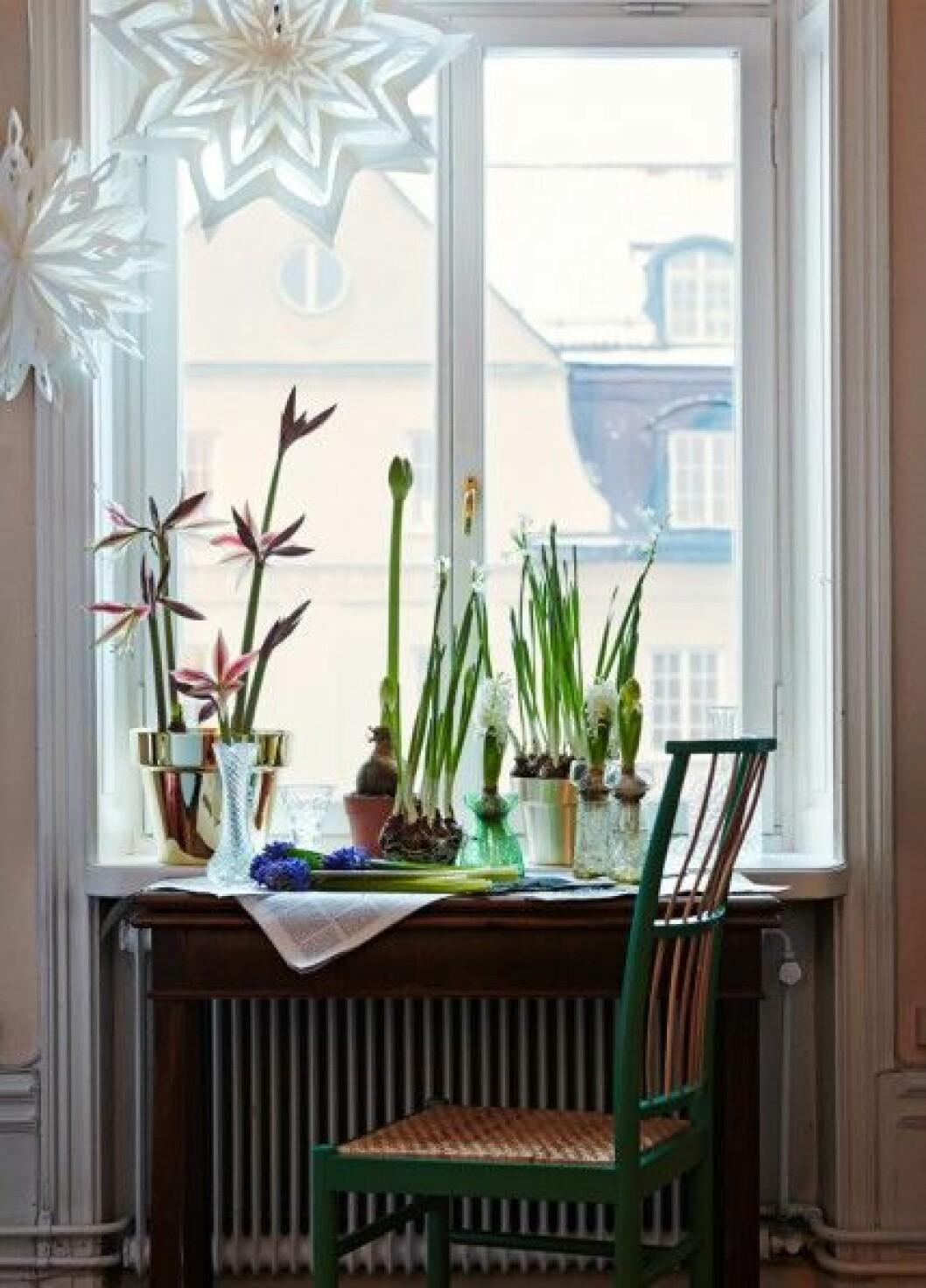 Julblommor-inspiration-amaryllis-julstjarnor