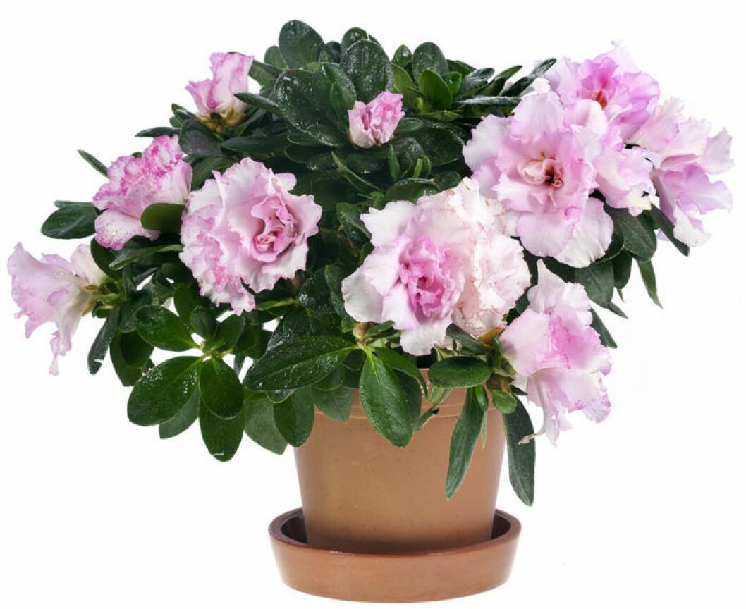 Vacker rosa azalea i kruka