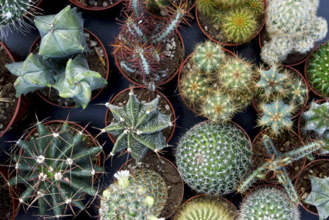 kaktusar_blomsterlandet