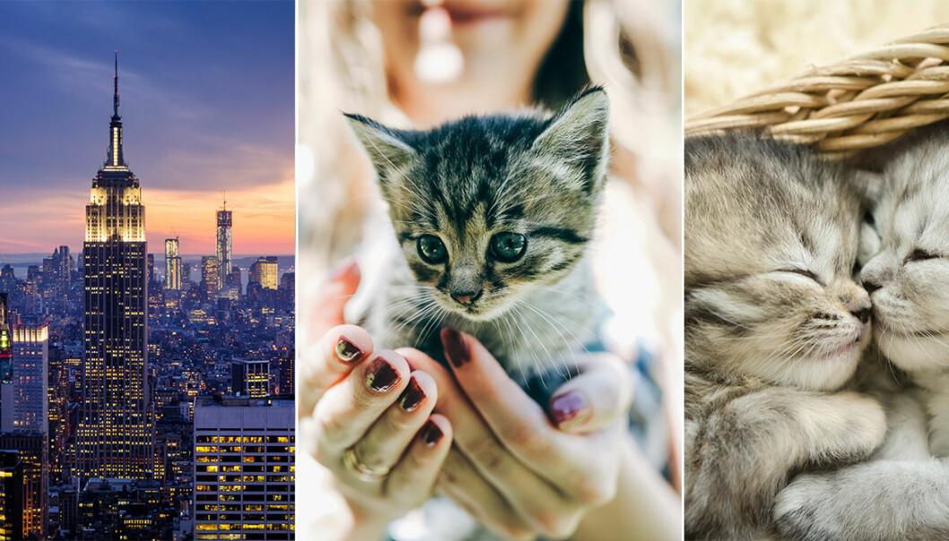New York och kattungar