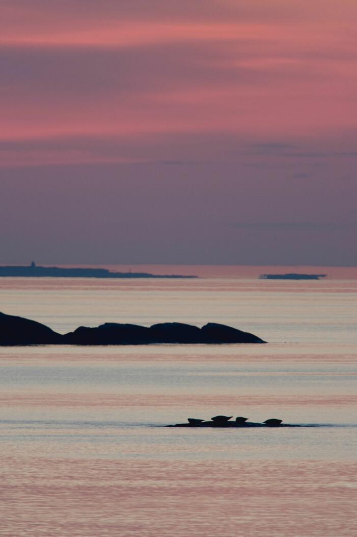 Solnedgång i Kosters nationalpark med vy av knubbsälar