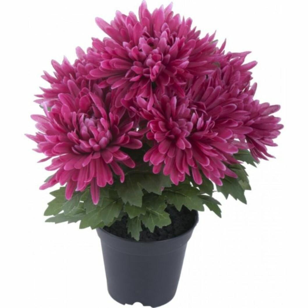 Krysantemum rensar luften.