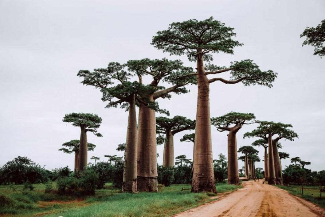 Madagaskar, skytten