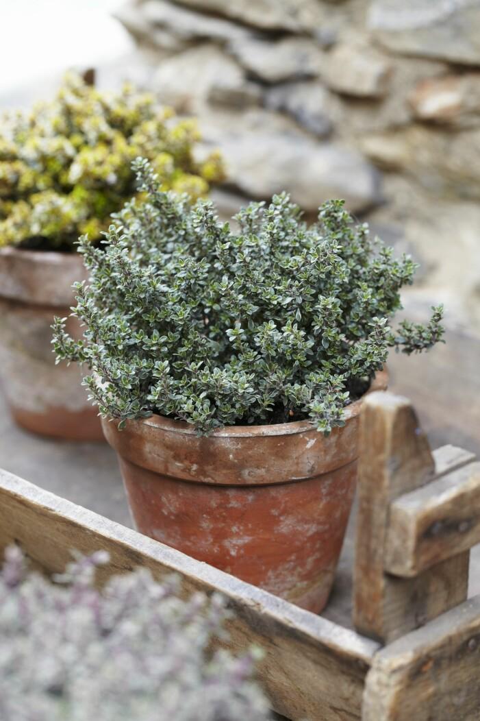 Medelhavsväxter att odla på balkong och uteplats, timjan