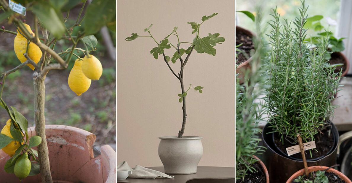 Snygga och trendiga medelhavsväxter för balkongen och uteplatsen