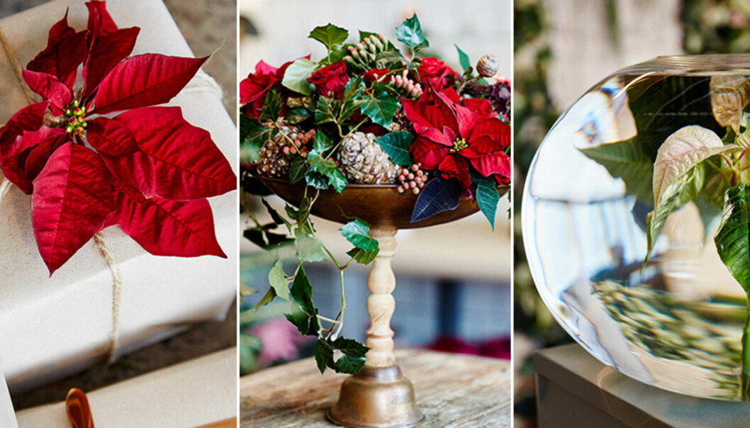 Nya sätt att dekorera med växten julstjärna