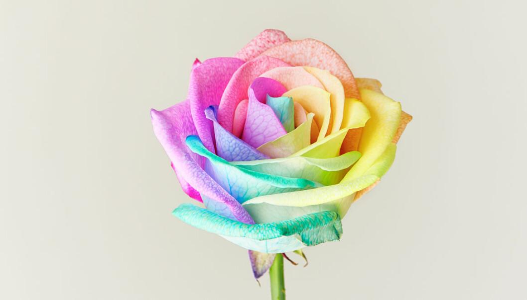 Så gör du en regnbågsfärgad ros (och här kan du köpa en)