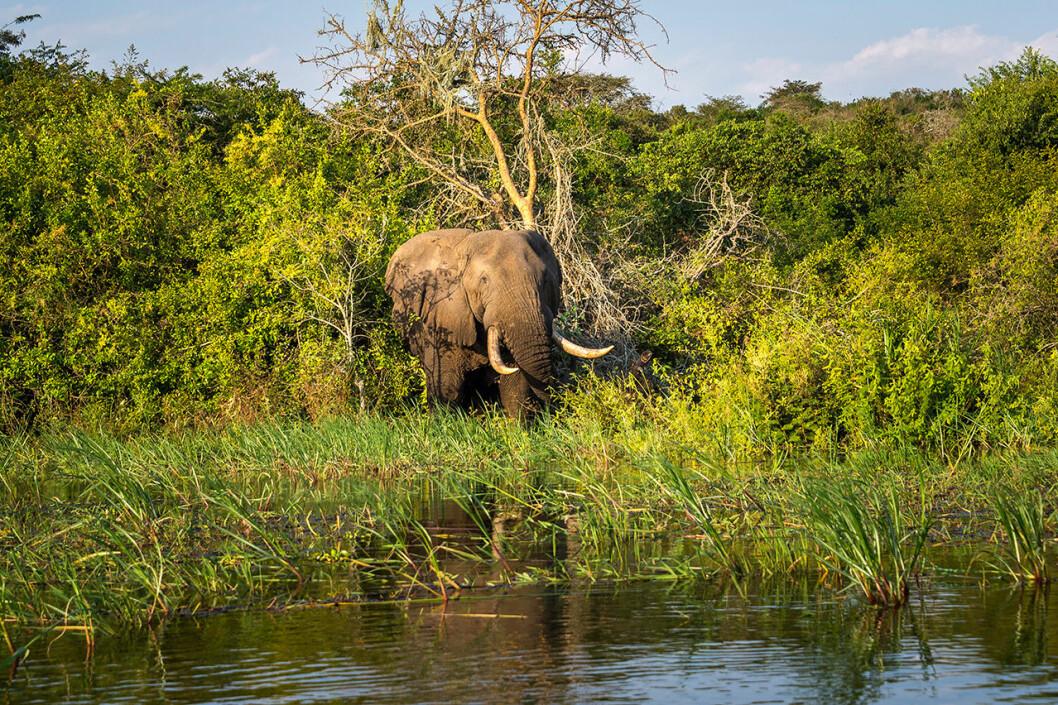 Lyxiga elefantäventyr i Rwanda.