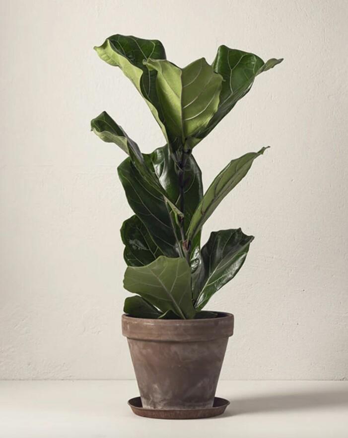 fiolfikus från interflora som går att skicka med bud