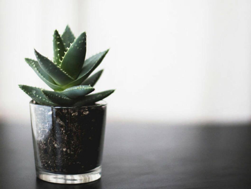 Liten suckulent som växer i glas